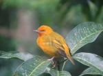 Little Orange Bird (Birders:Help!)